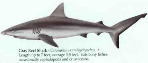 [GRAY REEF SHARK]