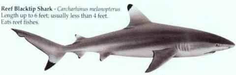 [REEF BLACKTIP SHARK]