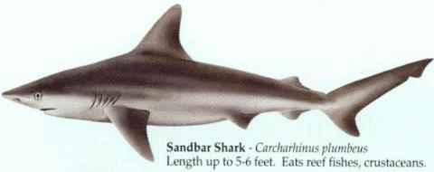 [SANDBAR SHARK]