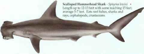 [SCALLOPED HAMMERHEAD SHARK]