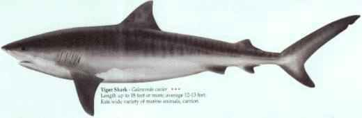 [TIGER SHARK]