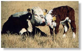 A different philosophy About Heifer Development