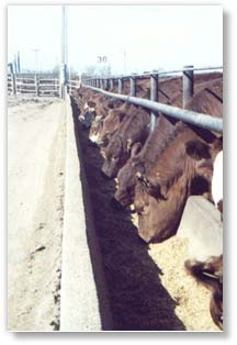 Teague Diversified, Inc. offers custom cattle feeding
