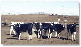 A Management Program Designed especially for the Development of the Replacement Dairy Heifer