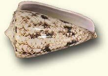 Conus araneosus, South India