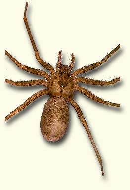 Brown recluse spider, Violin spider
