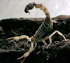 Yellow flattail scorpion (Androctonus australis)