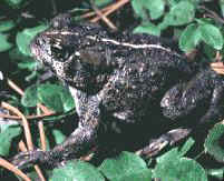 Photograph of adult boreal toad