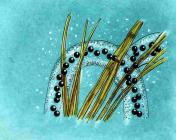 Drawing of boreal toad eggs attached to submerged plants (created by Dale Crawford).