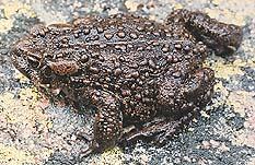 Photograph of the boreal toad (Bufo boreas)