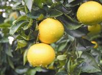 hassaku oranges