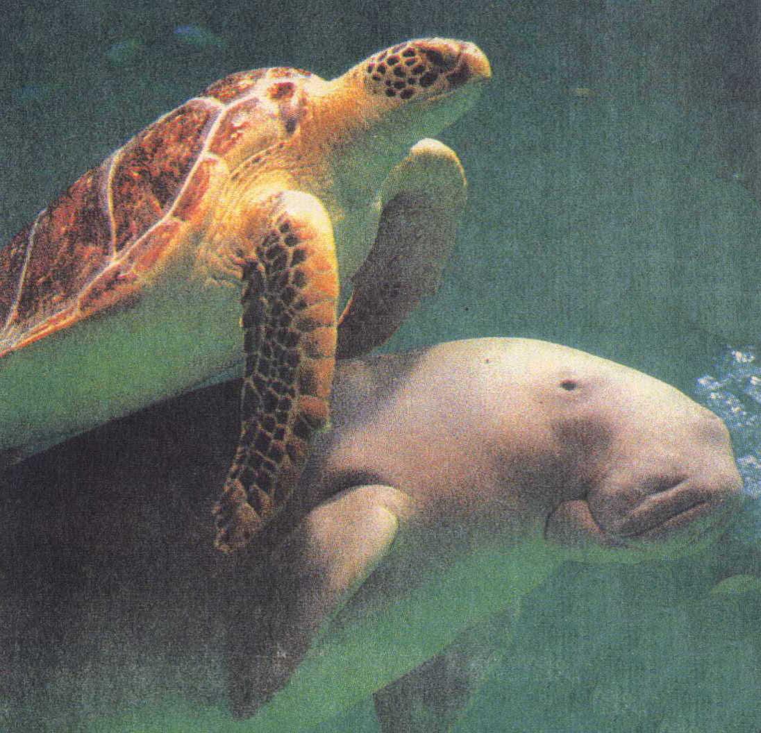 Okinawa Japan's Dugongs with a sea turtle.
