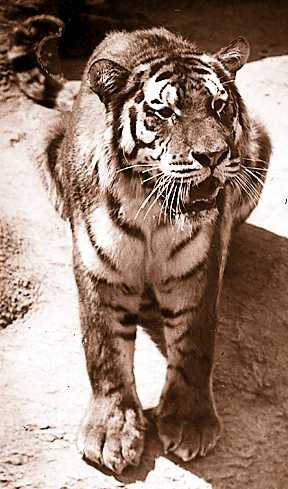Queenie, a handsome Siberian tiger, was killed in 1935 by Nellie, pictured here, who later killed a male tiger. After her second killing, Nellie was placed in solitary confinement.