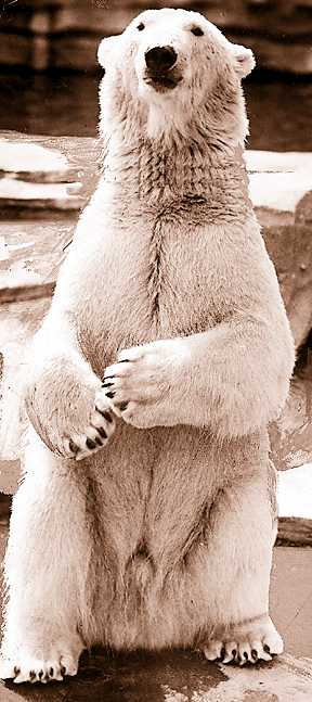 Morris the polar bear almost sealed the current zoo's fate on opening day in 1928 when he briefly considered having Detroit's acting mayor for lunch.