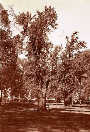 "In 1938, this was the last survivor of ""the Twelve Apostles,"" a grove of pear trees that were contemporaries of the original French settlers of Detroit. It was more than two centuries old and its trunk was more than 4 feet in diameter."