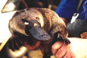 Ornithorhyncus anatinus