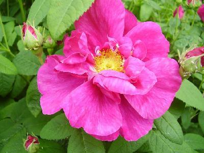 Rose   Medicinal Use   Culinary Use   Rose Vinegar