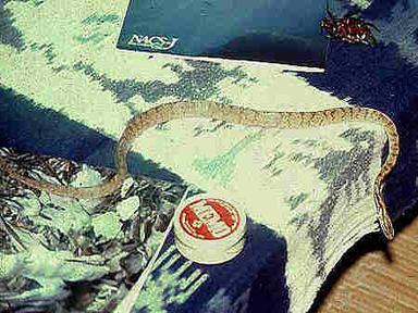 Iwasaki's slug snake